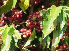 Kona Coffee Plant Hawaii
